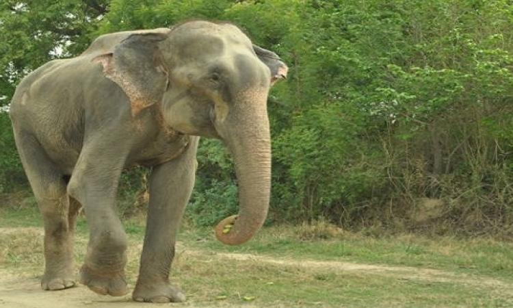 """هوليوود تنتج فيلما عن الفيل """" راجو """" الذي بكي لحظه تحريره من الأسر"""