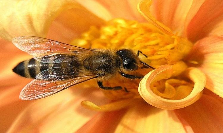 بكتيريا النحل بديلاً لمضادات الالتهابات