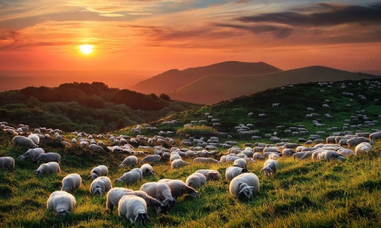 الفطريات فى معدة الماعز تساعد فى إنتاج وقود حيوى رخيص