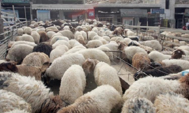 شعبة اللحوم : 25 % زيادة في أسعار الأضاحي هذا العام