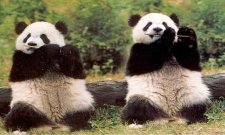بالصور .. جولة فى حياة الباندا