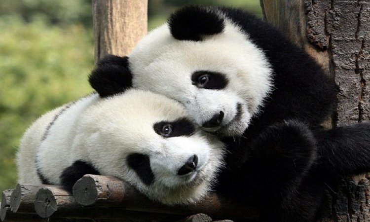 """منظمات حماية الحيوان بماليزيا تدعو لـ """"تزاوج الباندا"""""""