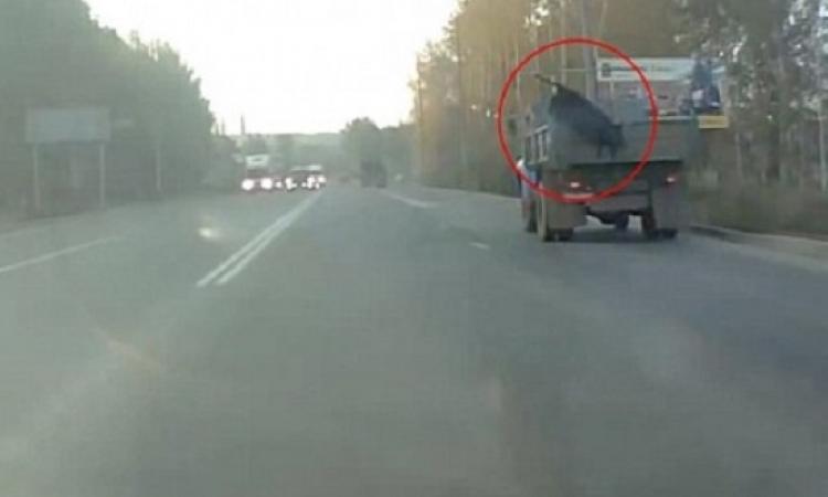 بالفيديو .. بقرة تقفز ببراعة من شاحنة ضخمة أثناء سيرها