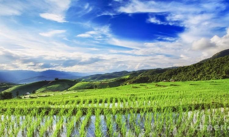 حقول الأرز الآسيوية .. تناسق مدهش وتناغم بديع !!