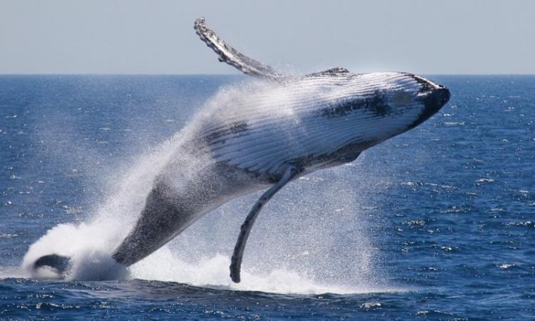 """بيع """"ضرس"""" الحوت بمبلغ 14 ألف يورو"""