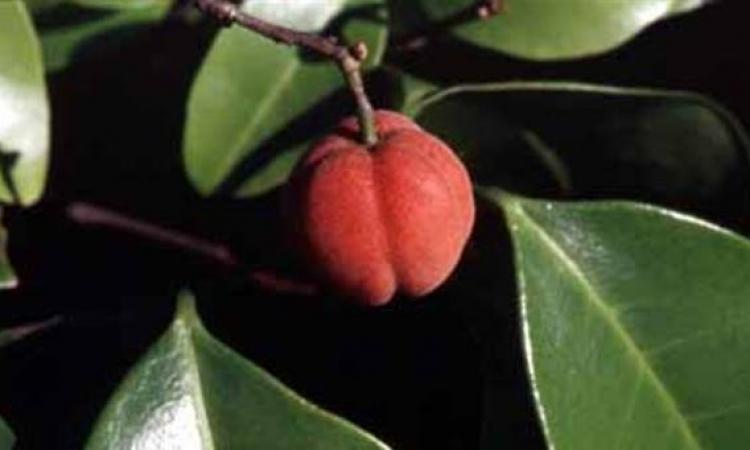 فاكهة استرالية تعالج الأورام الخبيثة خلال اسبوعين
