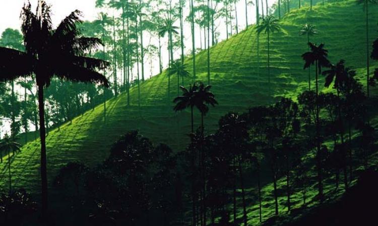 وادي كوكورا الكولومبي ونخله الشاهق الذي يخترق الغيوم