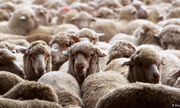 عيد الأضحى في أمريكا: أطلب خروفك عبر الإنترنت واحتفل