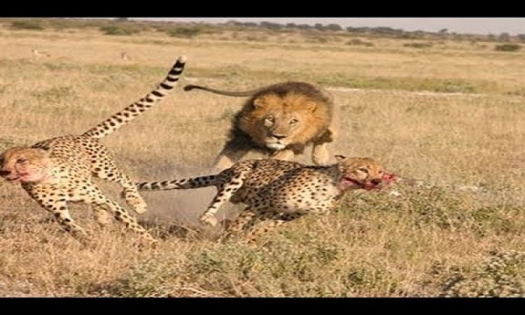 بالفيديو .. صراع الأقوياء ولقاء مميت بين أسد وفهد