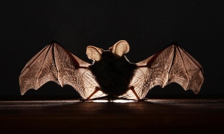 وزارة الزراعة : تهاجم أوكار الخفافيش خوفا من نقلها فيروس الإيبولا