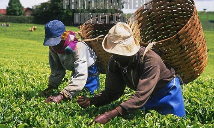 تدني أسعار الشاى في كينيا تدفع صغار المزارعين إلى اقتلاع أشجاره