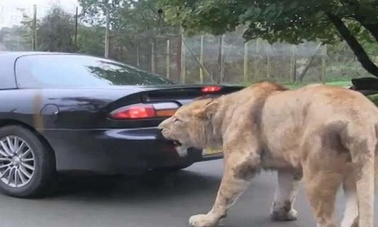 بالفيديو .. أسد يحاول التهام سيارة .. أكيد فاكرها زرافة !!
