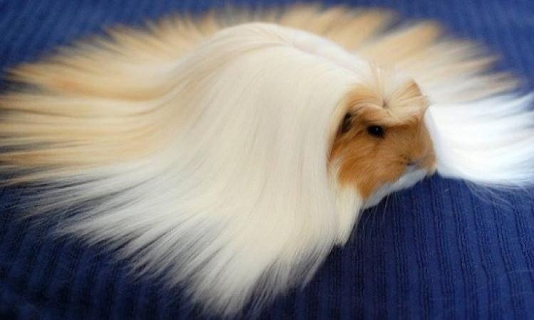 بالصور .. شاهد الحيوانات بأكثر تسريحات الشعر أناقة