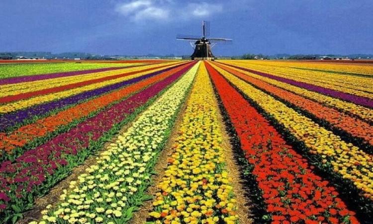 بالصور .. حقول زهورالتوليب في هولندا