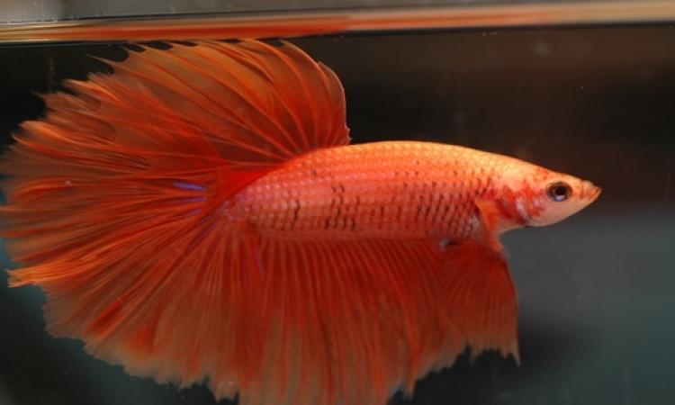 بالصور .. لا تنخدع بجمالها .. أسماك زينة قاتلة !!