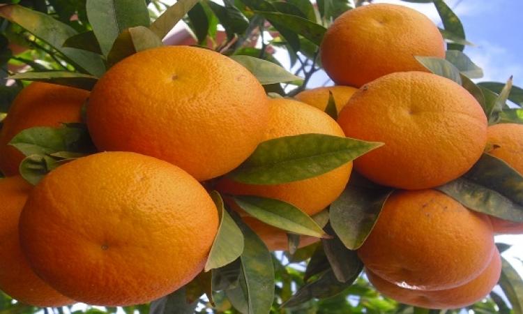 الأطباء يكذبون شائعة وجود ديدان باليوسفى والبرتقال