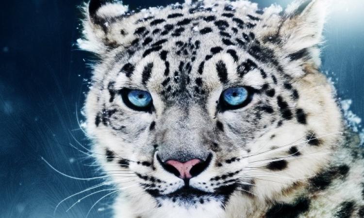 بالصور .. تعرف على  النمر الثلجى  !!