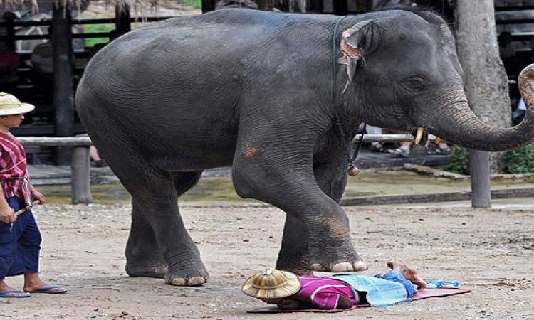 ولسة ياما هنشوف .. بالصور ..  مساج الأفيال فى تايلاند