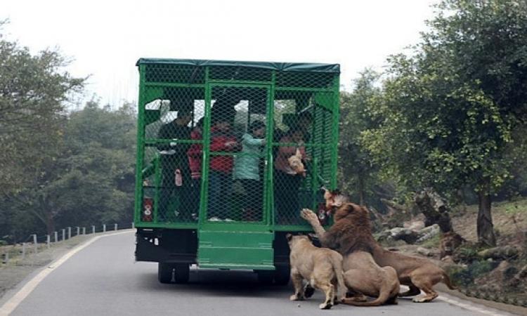 فى حدائق الصين .. أنت جوة الاقفاص .. والحيوانات هى اللى برة !!