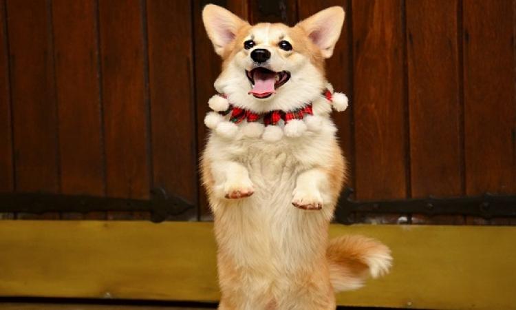 بالفيديو .. كلب يتحول إلى راقص سالسا من شدة الفرحة بعودة صاحبه