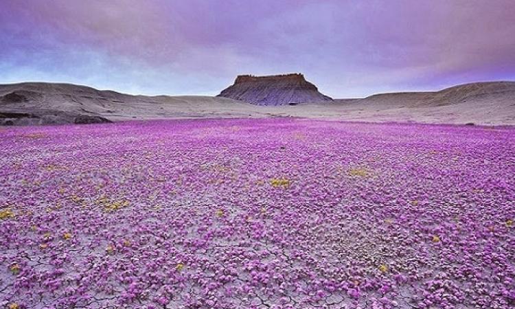 بالصور .. لغز الزهور التى تظهر وتختفى فجأة وسط صحراء كولورادو ؟