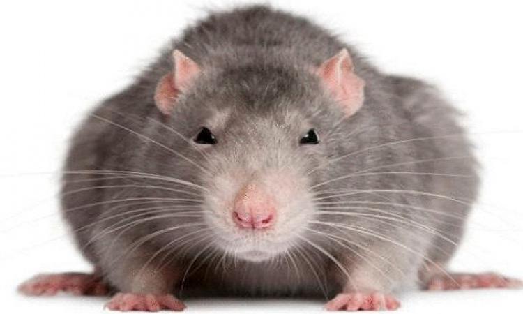 علماء يطورون قلبًا بشريًا من الفئران