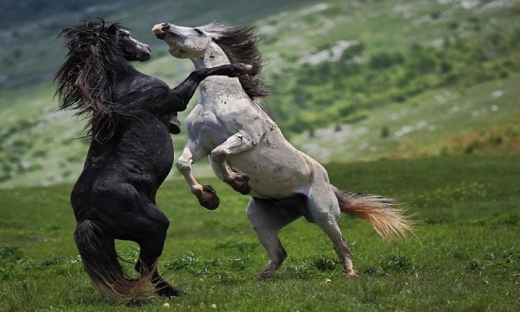 حتى الخيول بتتصارع بس فى موسم الزواج فقط ..#مصارعة_الخيول