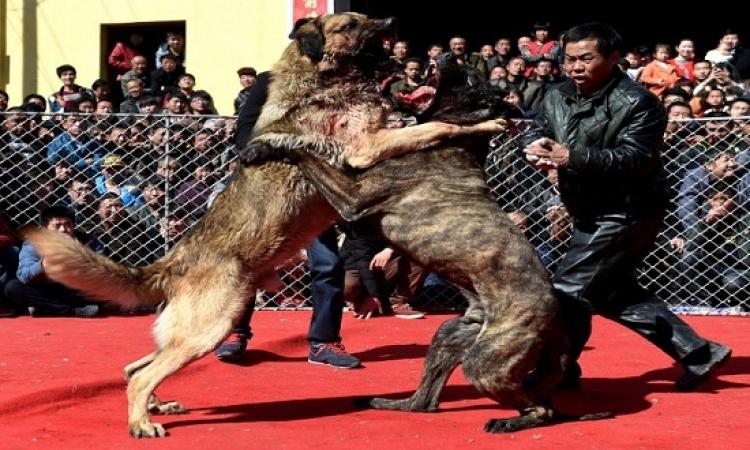 شاهد مصارعة الكلاب تقلش بنى آدمين يا أخى .. فينك يا ممدوح يا فرج تحكم !!