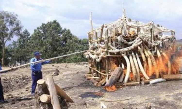 إثيوبيا تحرق 6 أطنان من الأنياب والحلي