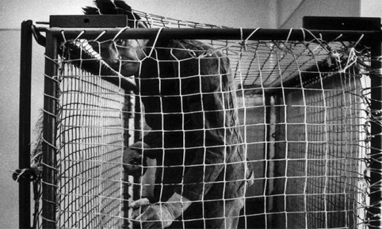 """قصة أوتا القرد الذى انتحر وكتب برسالته الأخيرة.. """"أنا رجل .. أنا إنسان"""""""