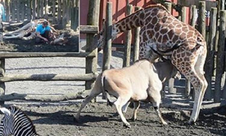 بالصور..حادثة مأساوية لظبى يقتل زرافة فى حديقة الحيوانات أمام الأطفال