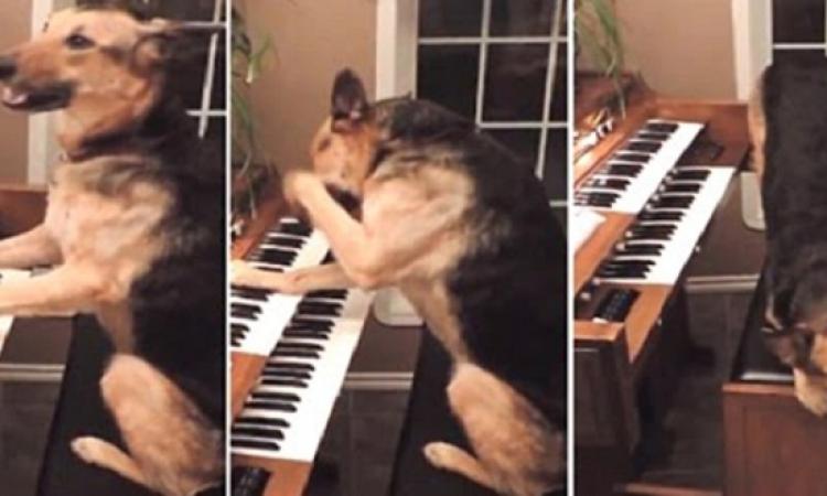 بالفيديو..كلب يتعلم العزف على البيانو..والله برافو عليك