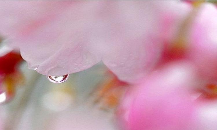 بالصور..  اليابان ترتدى ثوب أبيض × وردى احتفالا بالربيع