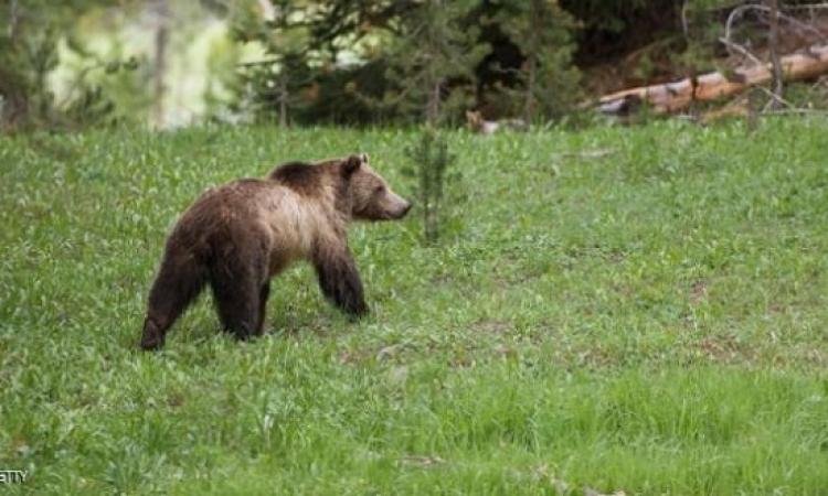 الهنود الحمر: ممنوع صيد هذا الدب