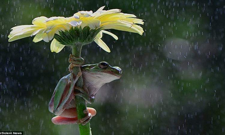 بالصور.. هكذا تحتمى الضفادع من المطر.. طبعا عندهم شمسية