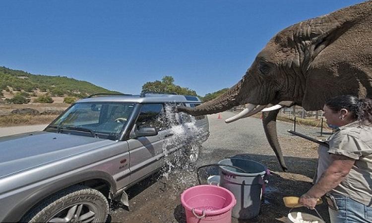 أفيال تقوم بغسيل السيارات مقابل 20 دولار