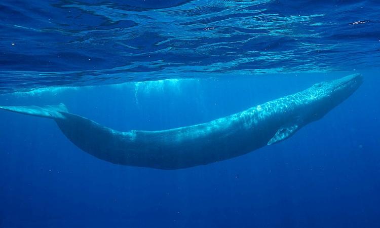ما لا تعرفه عن الحوت الأزرق