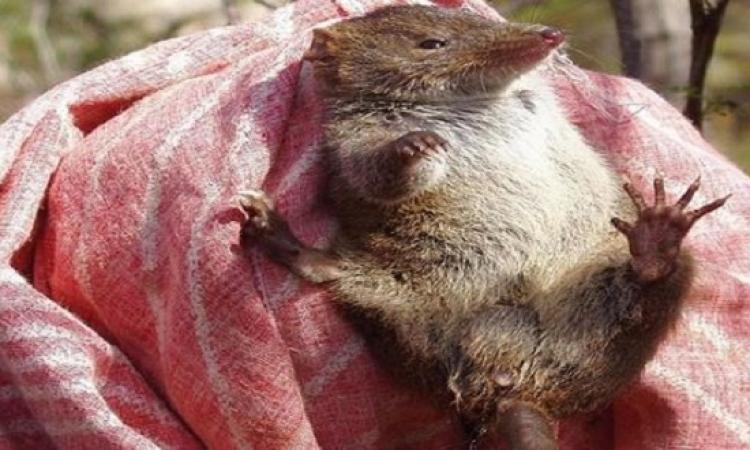 فئران مهددة للإنقراض مع انها تتزاوج 14 ساعة يوميًا !!
