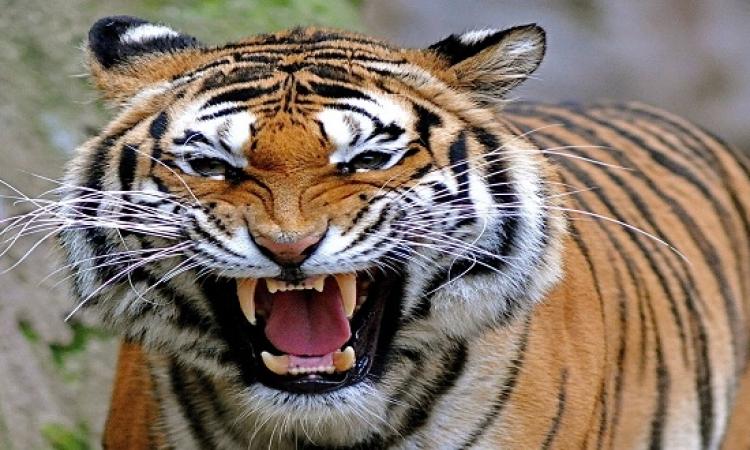 هروب نمر من حديقة الحيوان بجورجيا يقتل شخصا ويصيب آخر