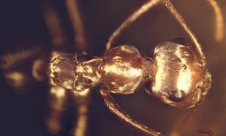 الشعر يعتبر عنصرا حاسما لبقاء النمل