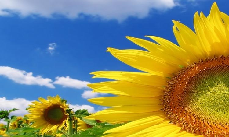 أكبر عباد شمس فى العالم.. طولها 9 متر .. عملها إزاى دى؟!