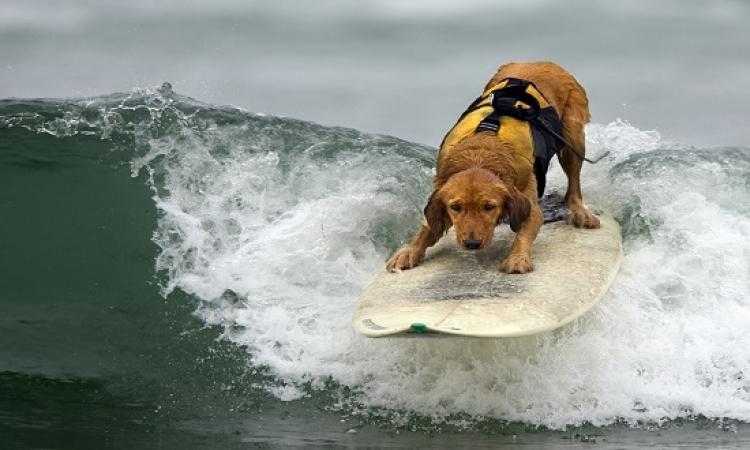 بالفيديو .. كلاب تركب الأمواج باحتراف
