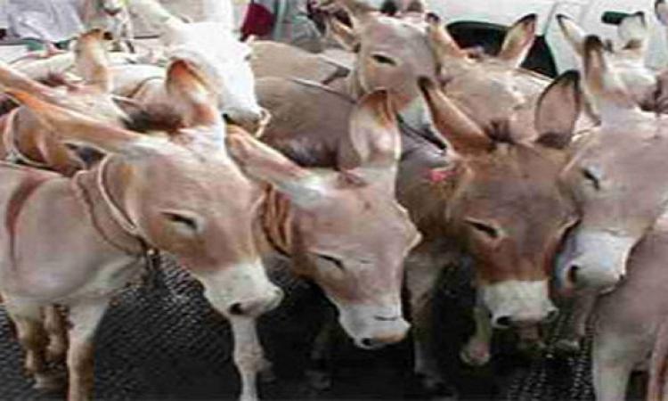 بالصور : ضبط 1500 حمار بين حية ومذبوحة فى مزرعة قبل تخزينها وبيعها