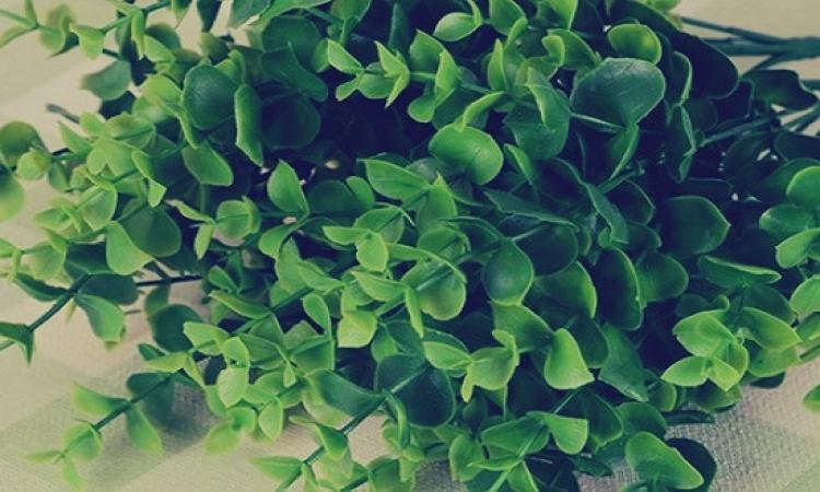 نبات الأوكالبتوس أفضل علاج لأنفلونزا الصيف .. تعرف عليه؟!