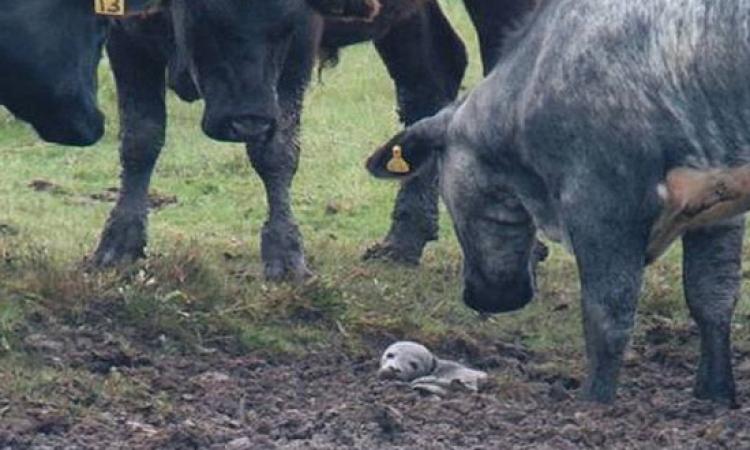 صغير فقمة كاد ان يفقد حياته لولا اهتمام قطيع من الأبقار به