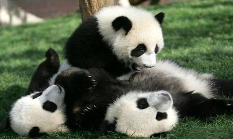 باندا تضع توأمها فى حديقة الحيوانات الأمريكية ولا تعدل بينهما !!