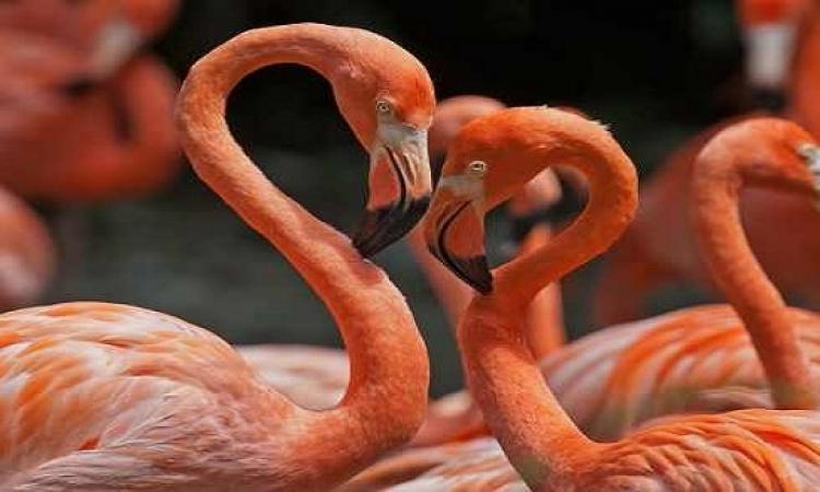 بالفيديو .. طائر الفلامنكو يتعلم المشى لأول مرة