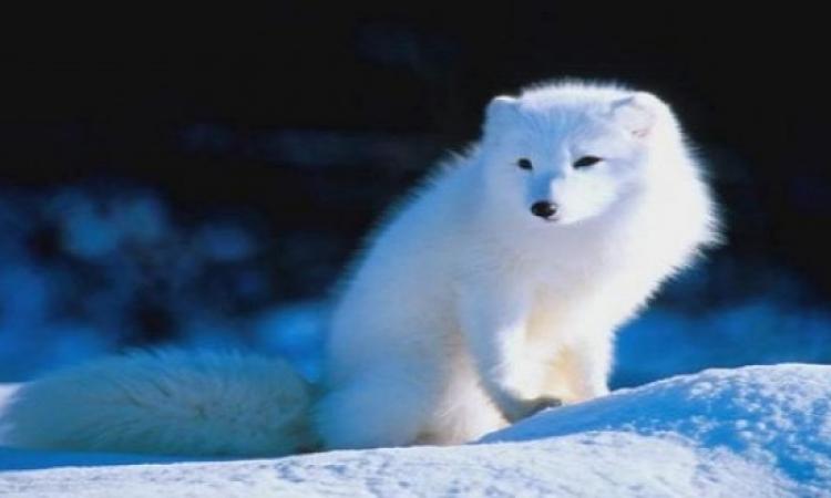 السلطات فى كل من النرويج والسويد تتعاون من أجل إنقاذ الثعلب القطبى