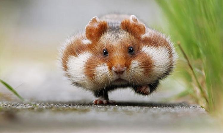 بالصور .. ابتسم مع حيوان الهمستر اللطيف  !!