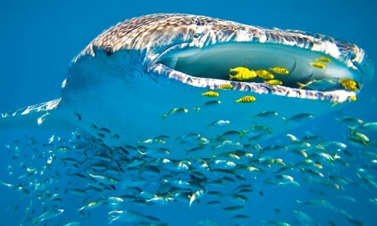بالصور .. السباحة وسط الحيتان العملاقة .. فكرة غريبة واحساس مذهل !!